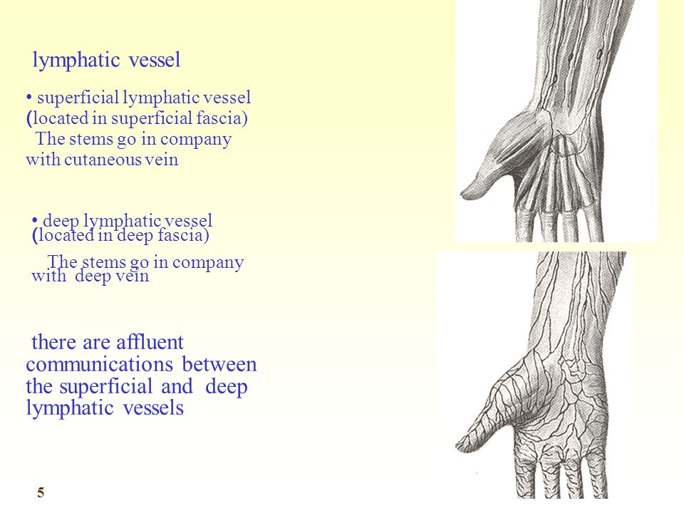 lymphatic vessel superficial lymphatic vessel (located in superficial fascia) The stems go in company with cutaneous vein.