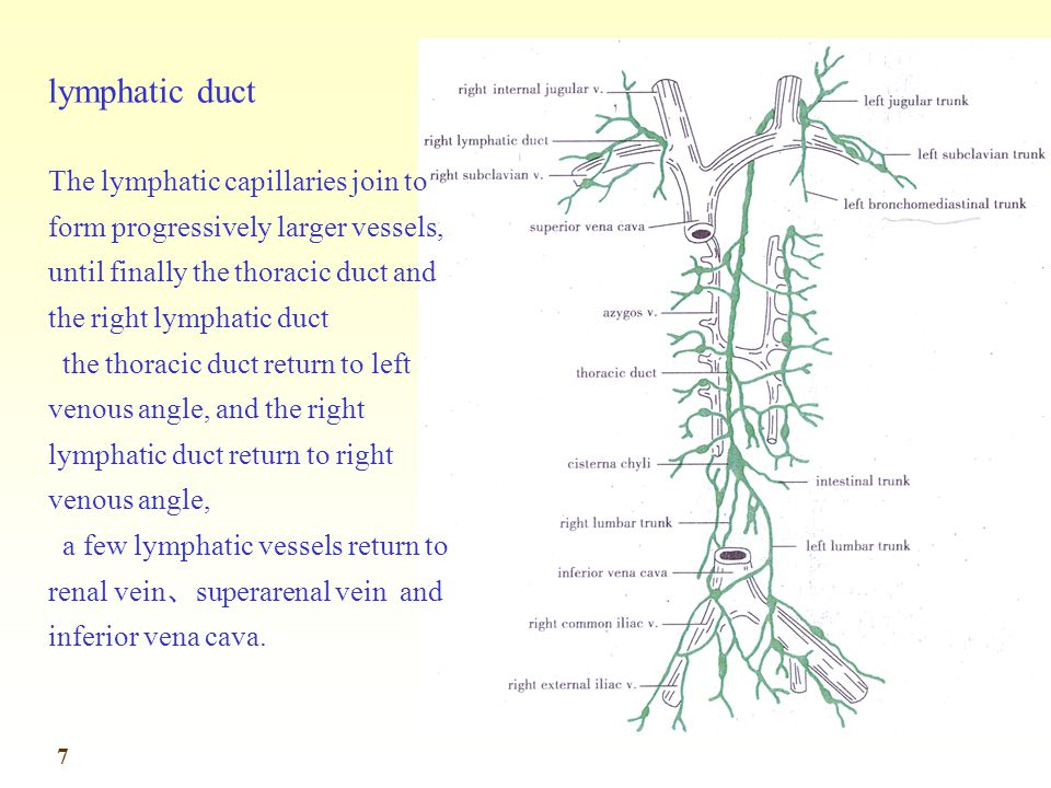lymphatic duct The lymphatic capillaries join to form progressively larger vessels, until finally the thoracic duct and the right lymphatic duct.