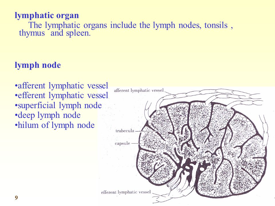 lymphatic organ The lymphatic organs include the lymph nodes, tonsils , thymus and spleen. lymph node.
