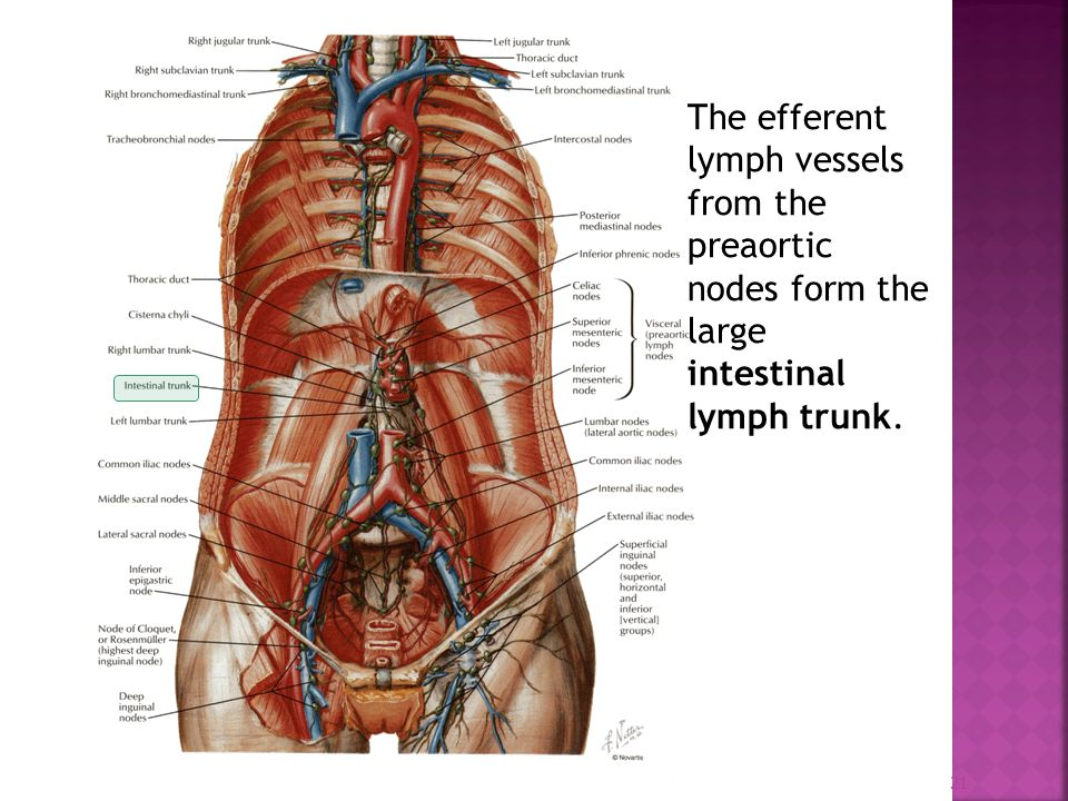 Lymphatic Of The Abdominal Viscera Ppt Video Online Download