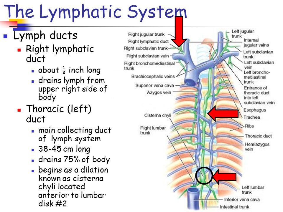 Chapter 22 The Lymphatic And Immune Systems Ppt Video Online Download