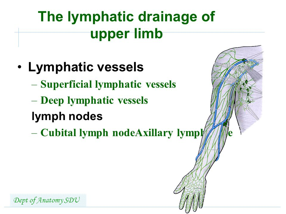 Lymphatic System SHANDONG UNIVERSITY Liu Zhiyu - ppt video online ...