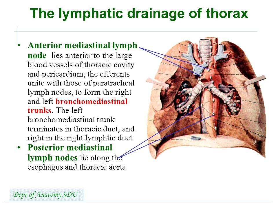 Lymphatic System Shandong University Liu Zhiyu Ppt Video Online