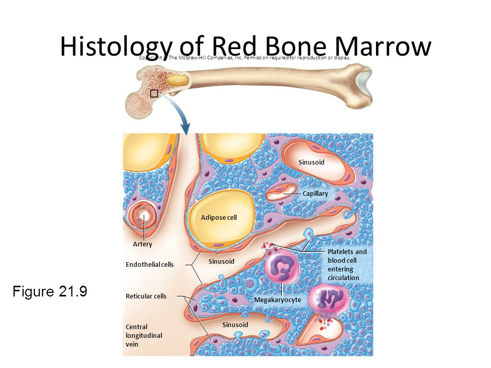 Histology of Red Bone Marrow