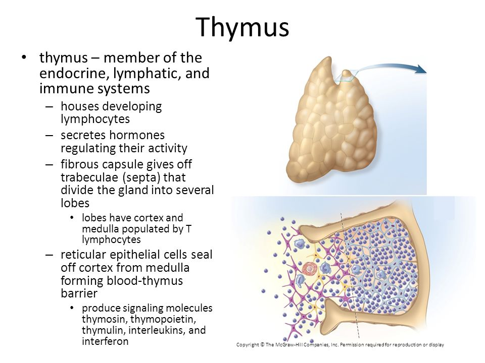 Thymus thymus – member of the endocrine, lymphatic, and immune systems