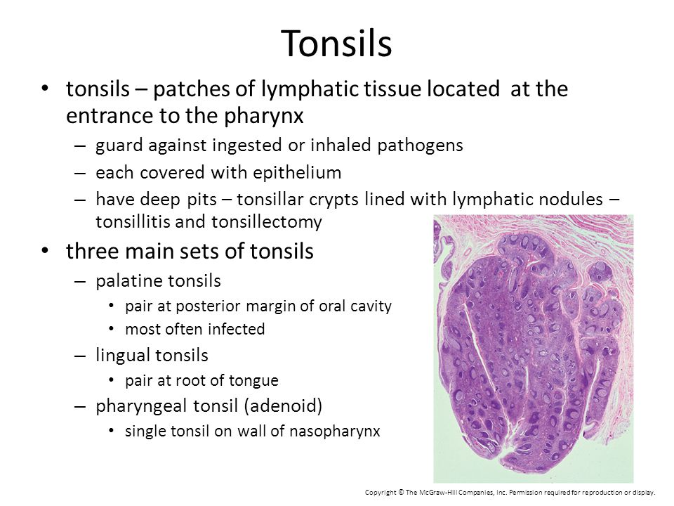 Tonsils tonsils – patches of lymphatic tissue located at the entrance to the pharynx. guard against ingested or inhaled pathogens.