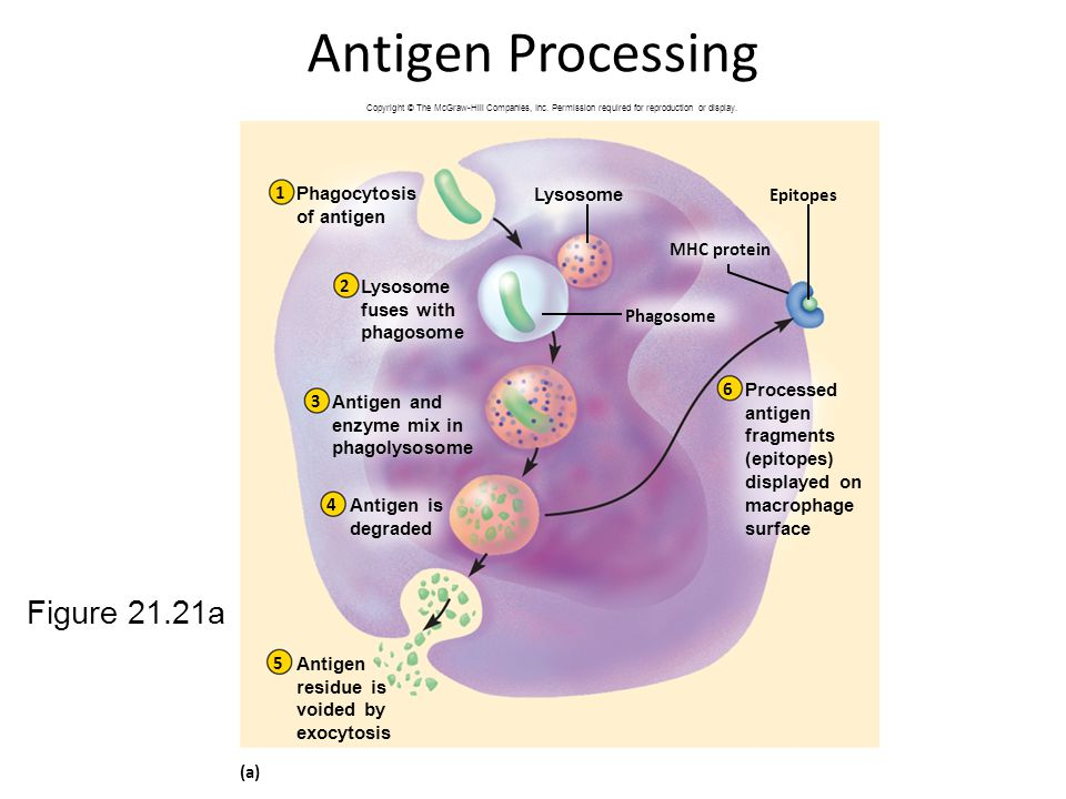 Antigen Processing Figure 21.21a 1 Phagocytosis of antigen Lysosome