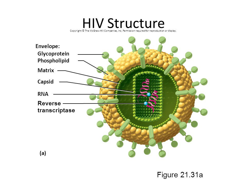 HIV Structure Figure 21.31a Envelope: Glycoprotein Phospholipid Matrix