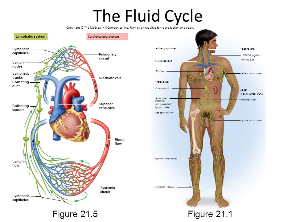 The Fluid Cycle Figure 21.5 Figure 21.1