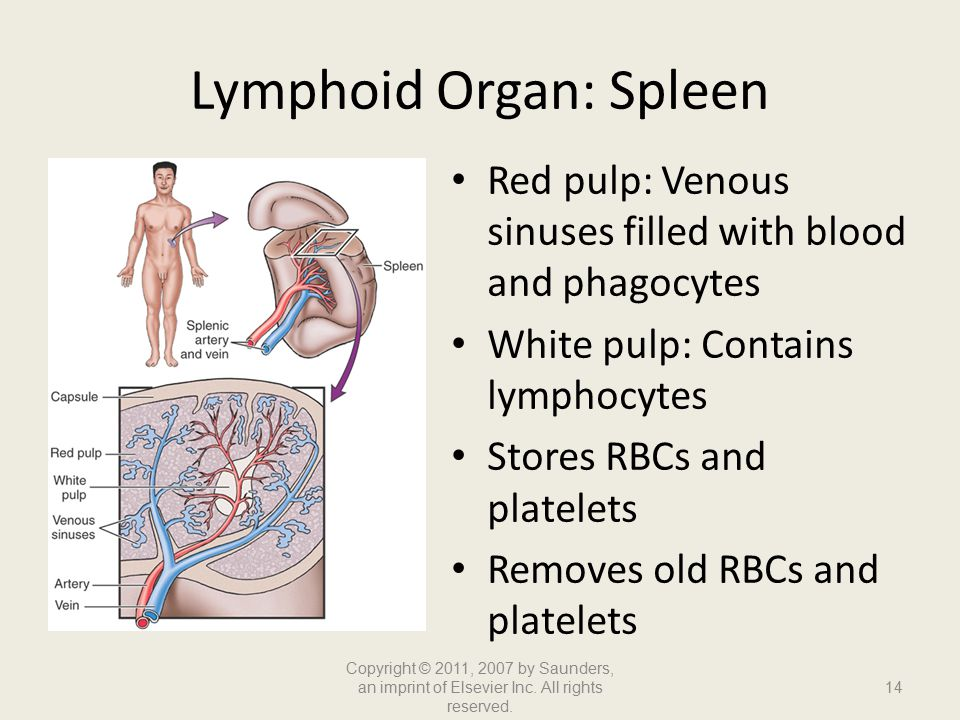 Lymphoid Organ: Spleen