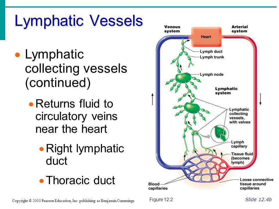 Lymphatic Vessels Lymphatic collecting vessels (continued)