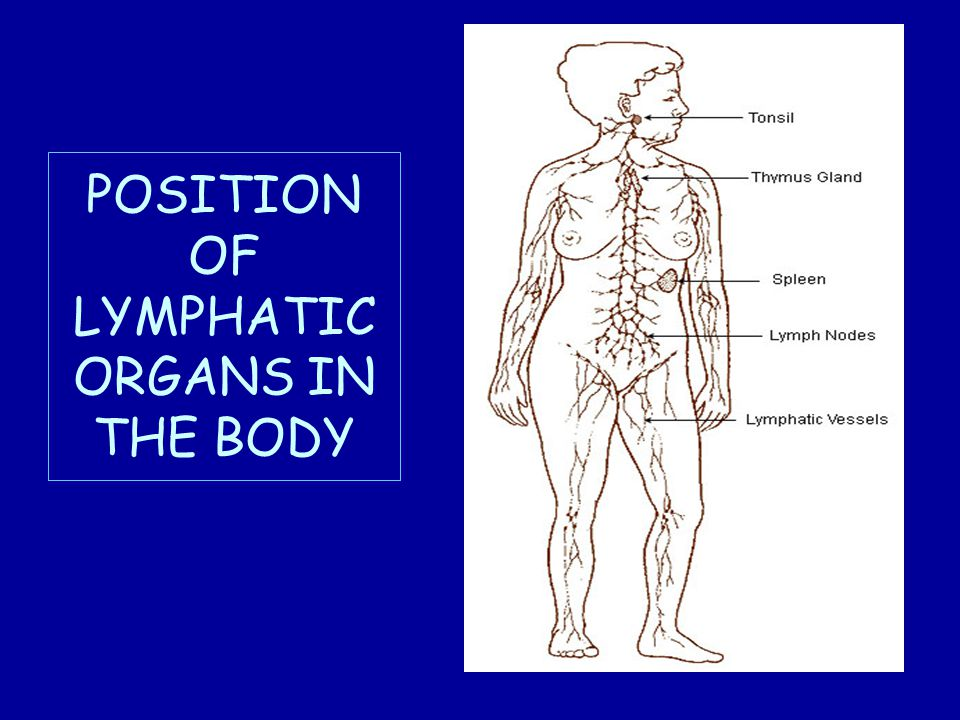 POSITION OF LYMPHATIC ORGANS IN THE BODY