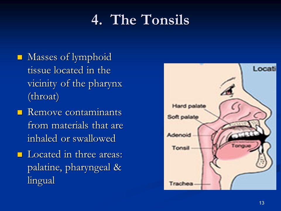 4. The Tonsils Masses of lymphoid tissue located in the vicinity of the pharynx (throat)
