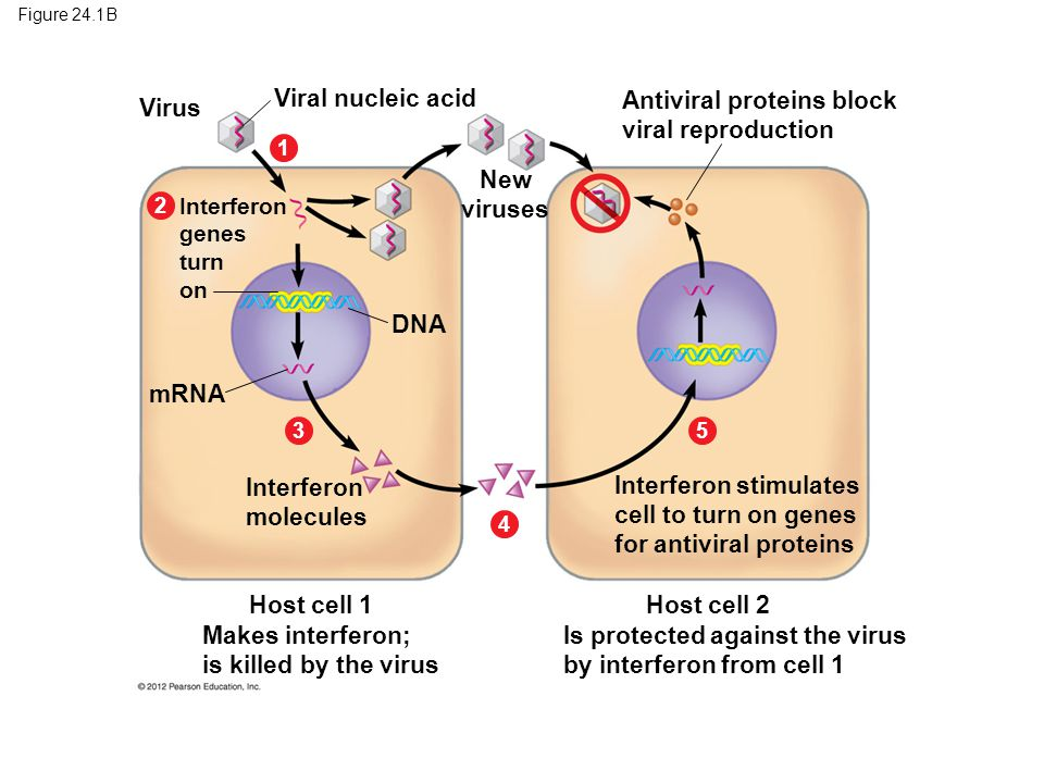 Antiviral proteins block viral reproduction Virus