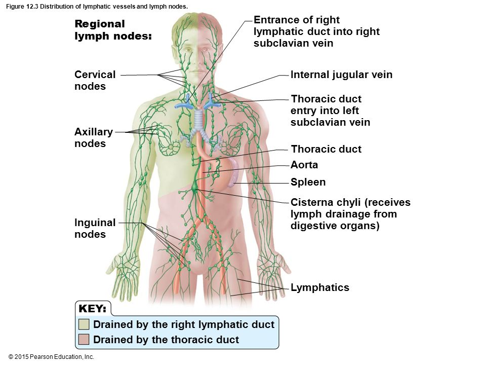 Figure 12.3 Distribution of lymphatic vessels and lymph nodes.