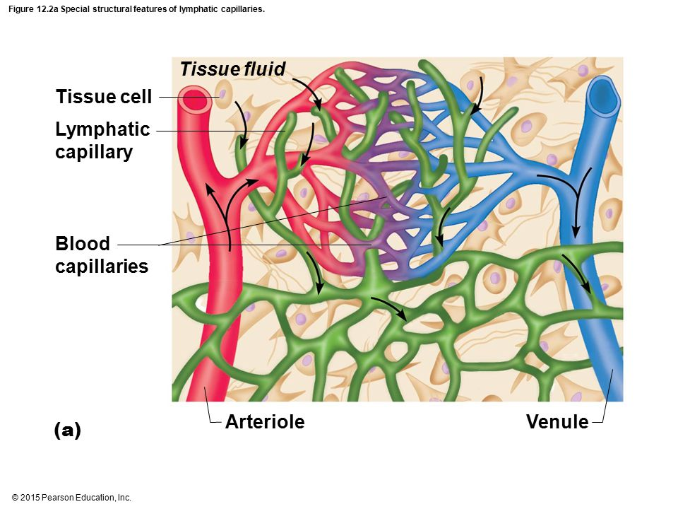Figure 12.2a Special structural features of lymphatic capillaries.