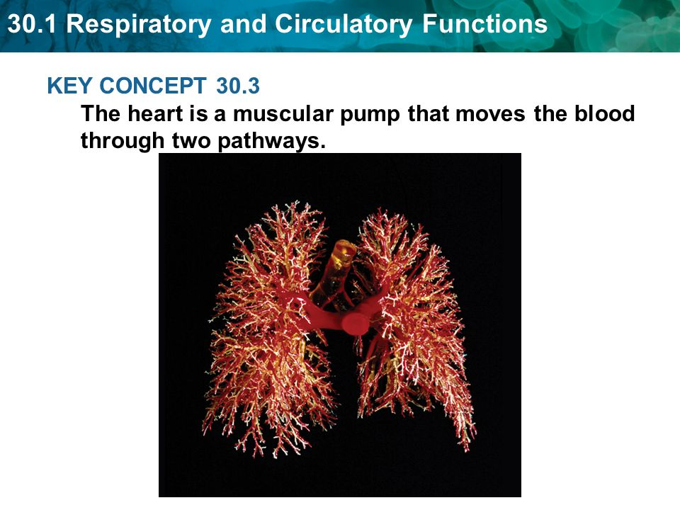 KEY CONCEPT 30.3 The heart is a muscular pump that moves the blood through two pathways.