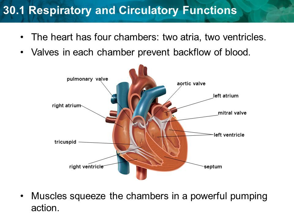 The heart has four chambers: two atria, two ventricles.