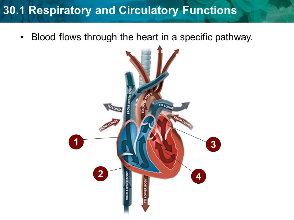 Blood flows through the heart in a specific pathway.