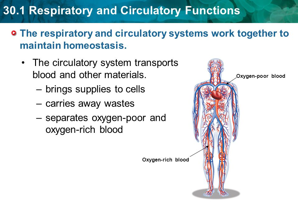 The circulatory system transports blood and other materials.