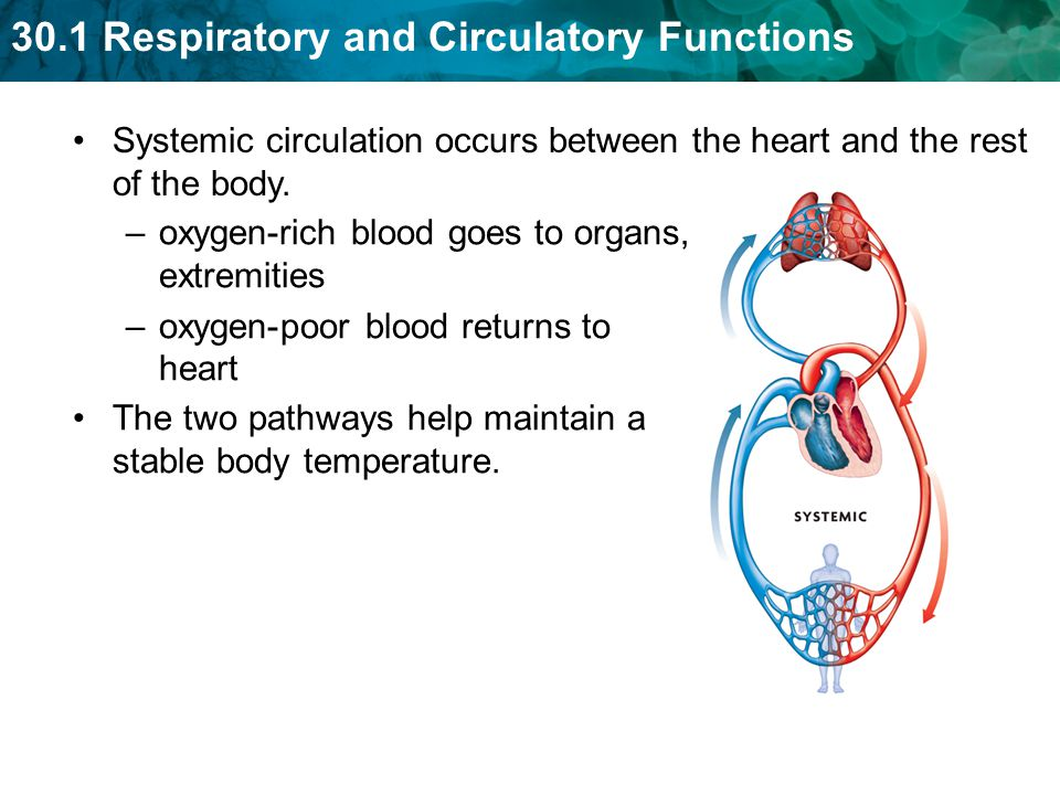 Systemic circulation occurs between the heart and the rest of the body.