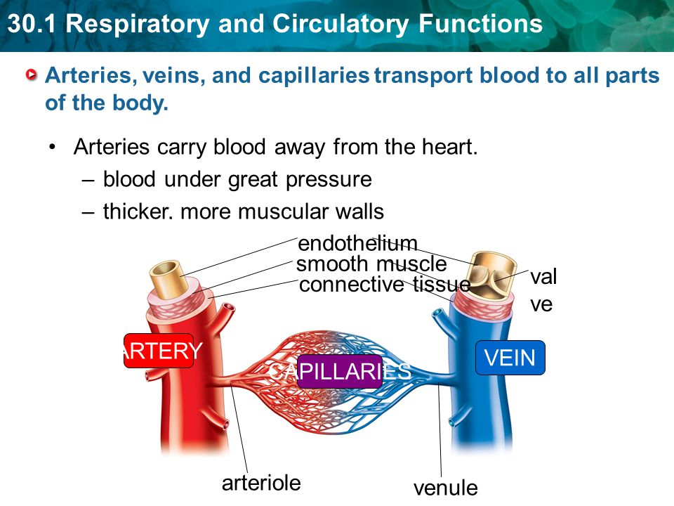 Arteries, veins, and capillaries transport blood to all parts of the body.