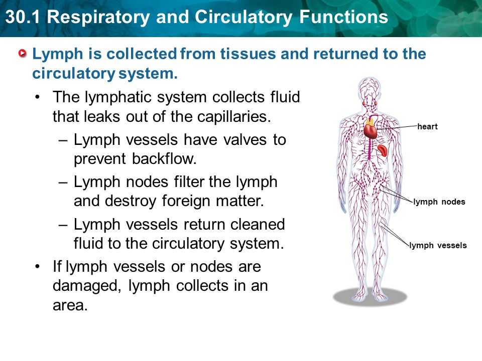 The lymphatic system collects fluid that leaks out of the capillaries.
