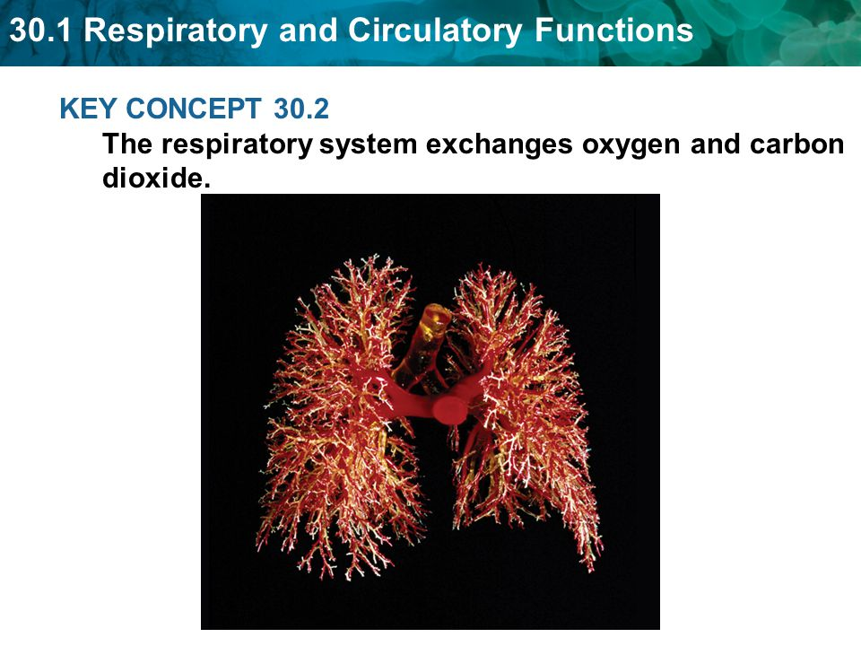 KEY CONCEPT 30.2 The respiratory system exchanges oxygen and carbon dioxide.