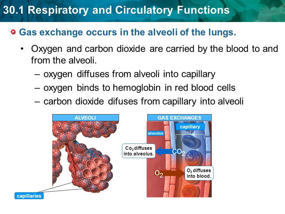 Gas exchange occurs in the alveoli of the lungs.