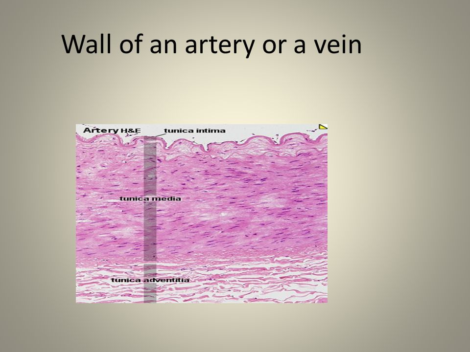 Wall of an artery or a vein