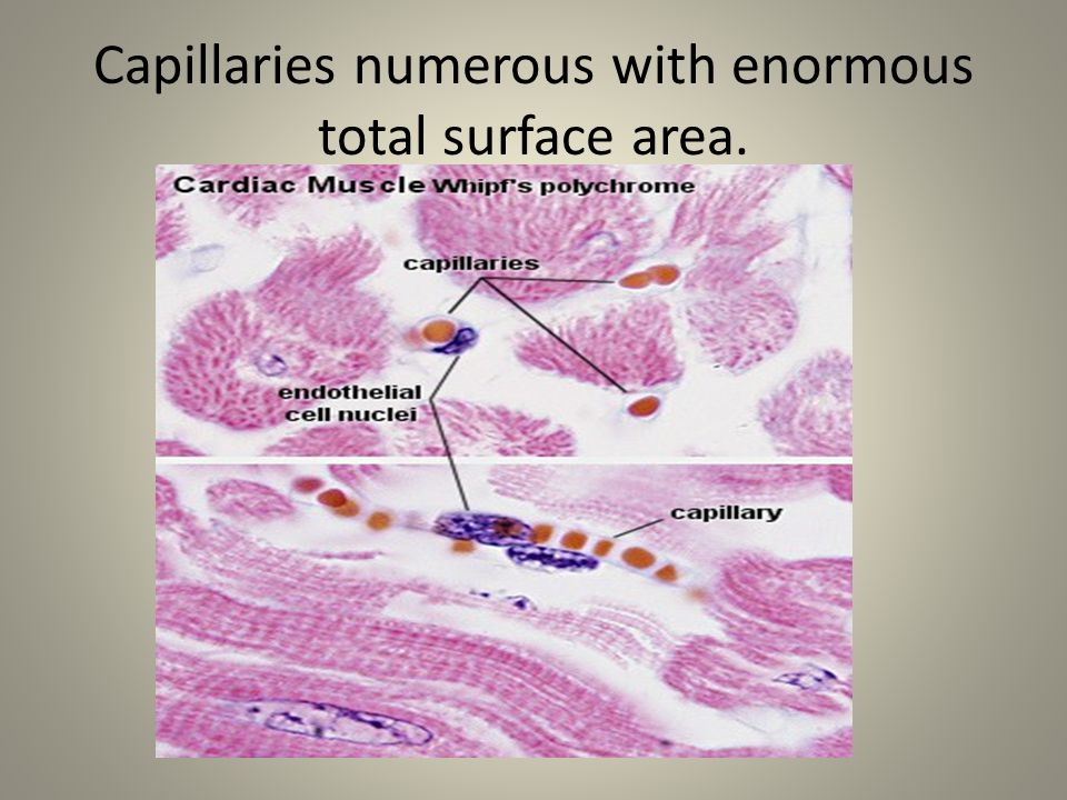 Capillaries numerous with enormous total surface area.