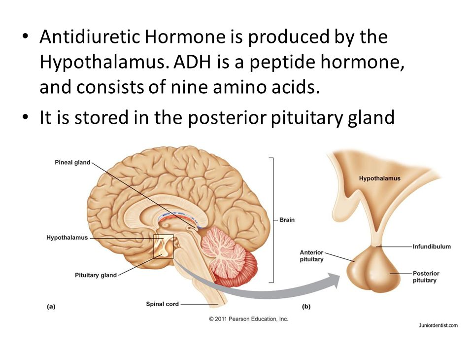 Antidiuretic Hormone is produced by the Hypothalamus