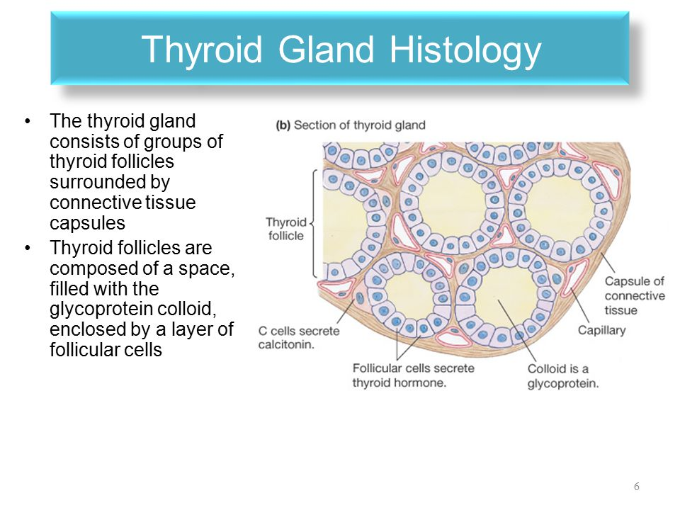 PHYSIOLOGY OF THE THYROID GLAND - ppt video online download