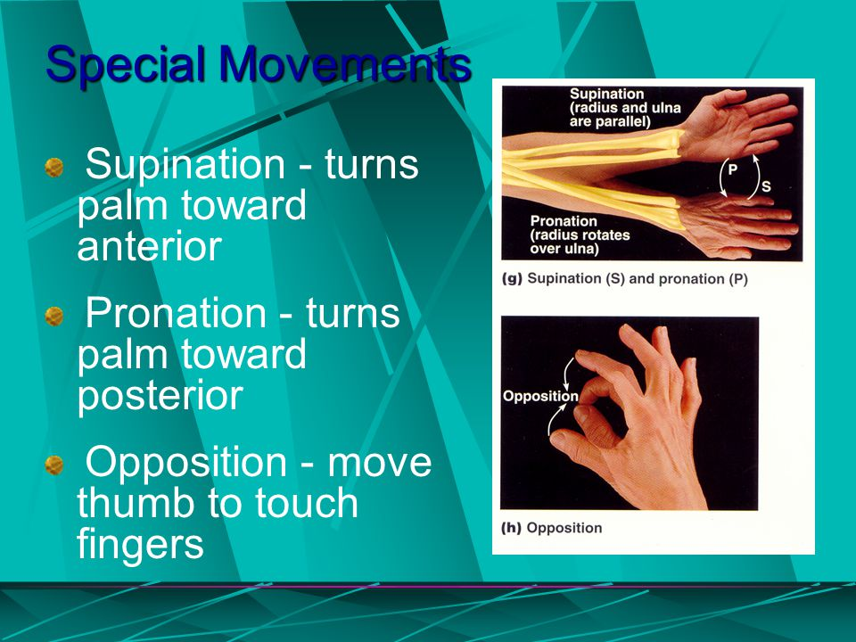 Special Movements Supination - turns palm toward anterior