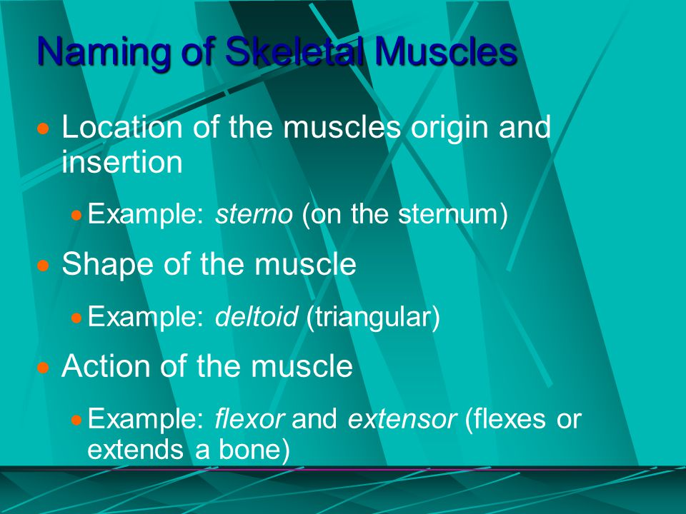 Naming of Skeletal Muscles