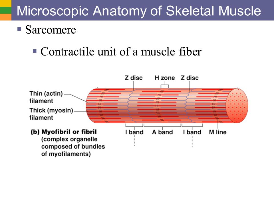 Muscular System Mahoney Lhs 120 Ppt Video Online Download