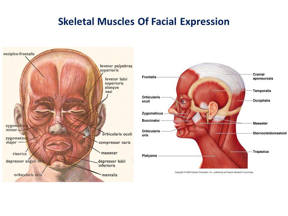 Facial Skeletal Muscle Diagram Great Installation Of Wiring Diagram