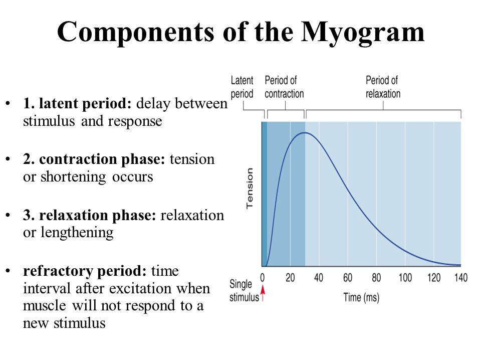 what occurs during the latent period of muscle contraction