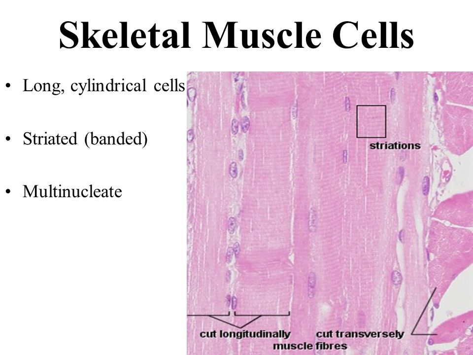 Muscles And Muscle Tissue Ppt Download