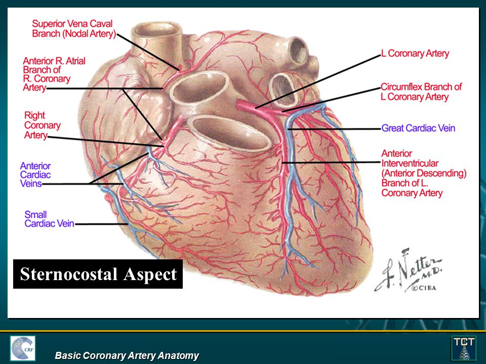 Sternocostal Aspect Basic Coronary Artery Anatomy - ppt download