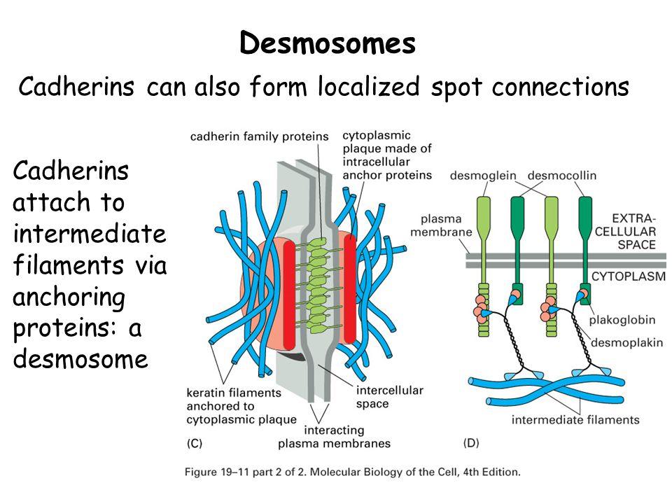 Spot Desmosomes Diagram - Online Schematic Diagram •