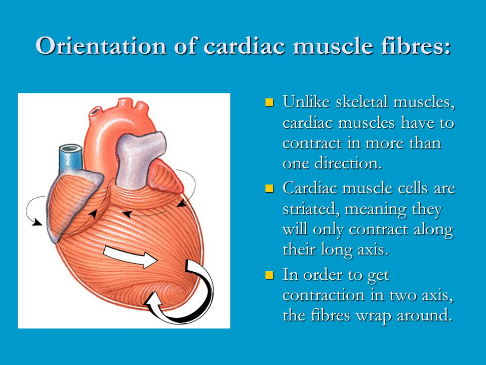 Cardiac Muscle Found only in heart Striated - ppt video online download
