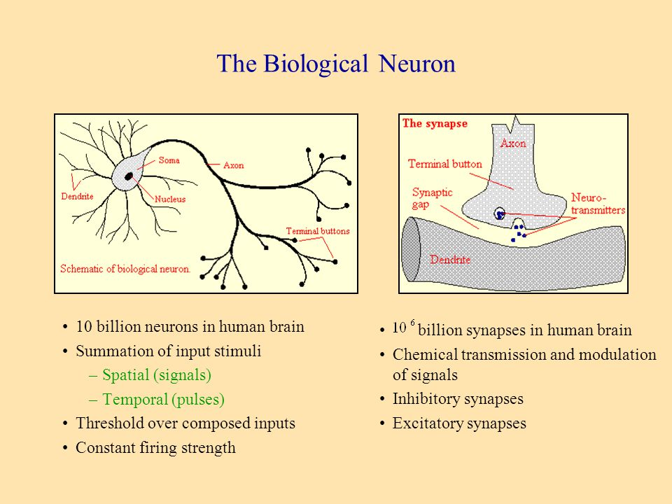 Neural computation prof nathan intrator ppt video online download the biological neuron 10 billion neurons in human brain ccuart Gallery