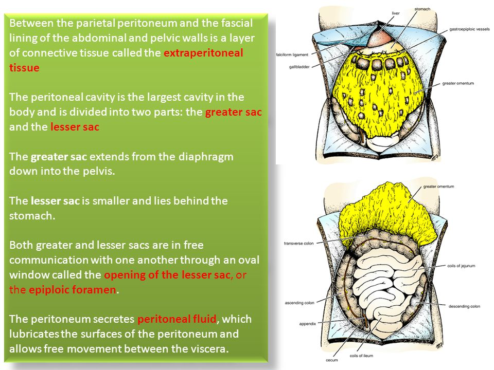 Clinical Anatomy Of Peritoneum Ppt Video Online Download