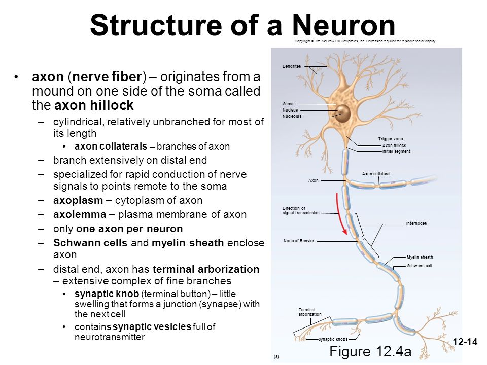 Structure of a Neuron Figure 12.4a Figure 12.4a