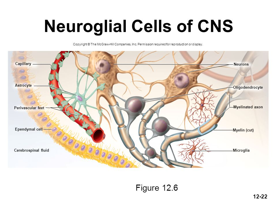 Neuroglial Cells of CNS