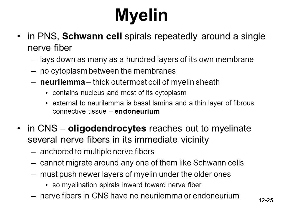 Myelin in PNS, Schwann cell spirals repeatedly around a single nerve fiber. lays down as many as a hundred layers of its own membrane.