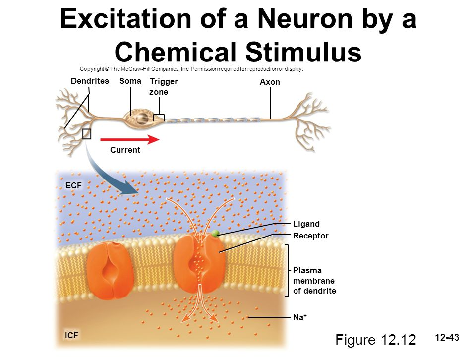 Excitation of a Neuron by a Chemical Stimulus