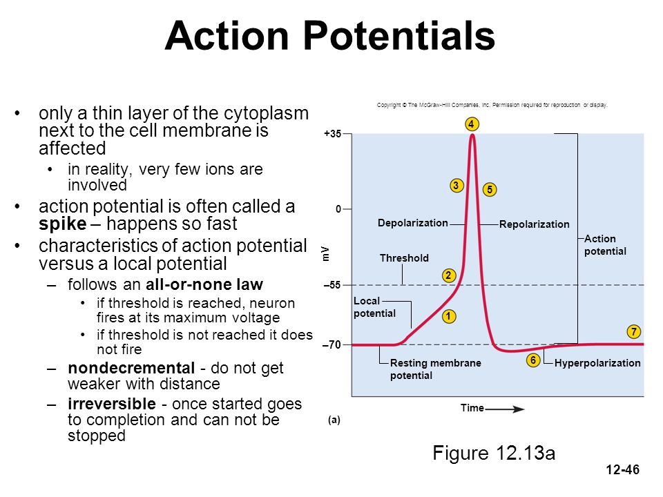 Action Potentials Figure 12.13a