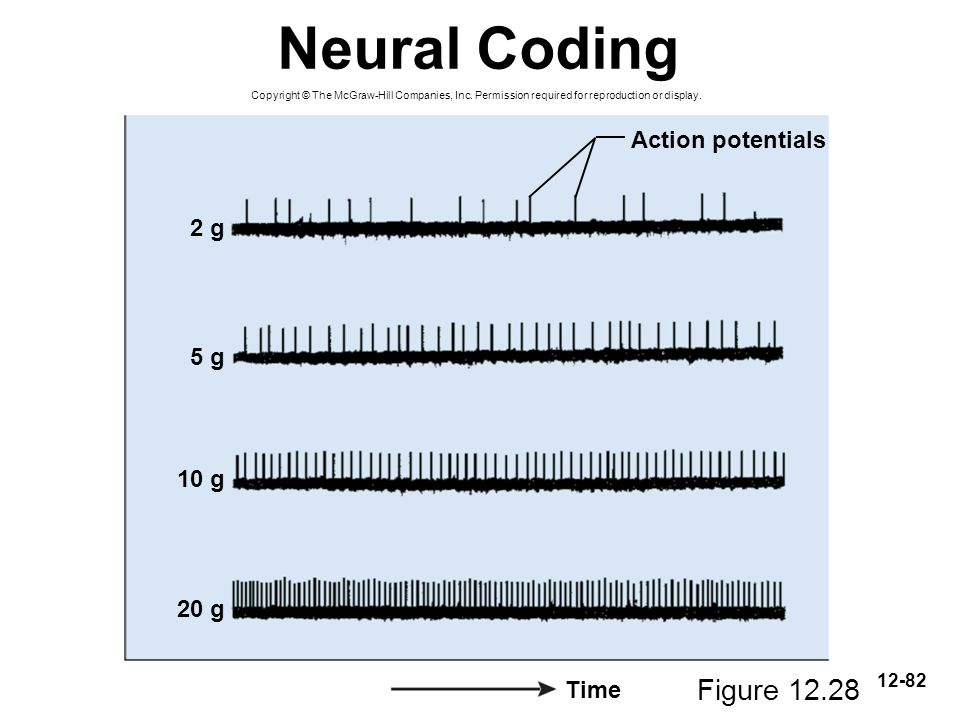 Neural Coding Figure 12.28 Action potentials 2 g 5 g 10 g 20 g Time